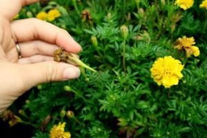 Увядшие цветки