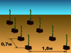 схема посадки кустарников - skhema posadki kustarnikov
