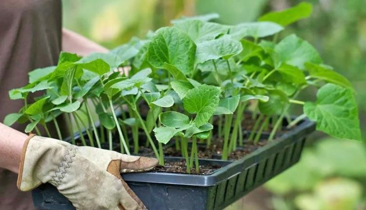 Когда сажать рассаду помидор, перца и других овощных культур