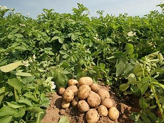 как вырастить хороший урожай картофеля_kak_vyrastit_khoroshij_urozhaj_kartofelya