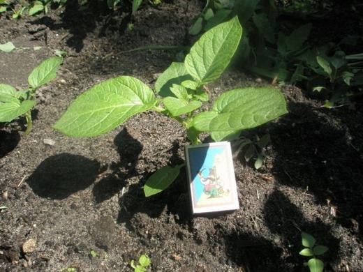 агротехника выращивания картофеля из семян - agrotekhnika vyraschivaniya kartofelya iz semyan