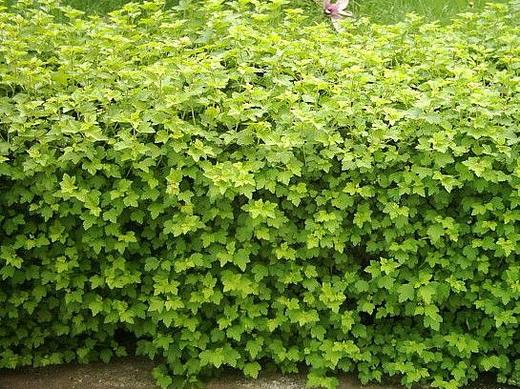 живая изгородь виды растений _ smorodina_alpijskaya