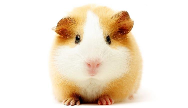 Морская свинка - первый домашний питомец для ребенка